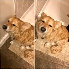 Tired Dog Meme - put me like my dog was extremely tired but just had to follow me