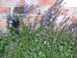 campanula blue stars climbing trailing potted in cambridge