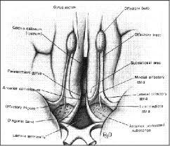 olfatorio1