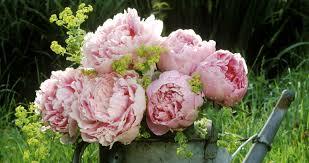 peonies flower 12 things peony should grow beautifully