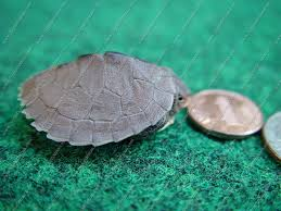 Ringed Map Turtle Baby Ouachita Map Turtle