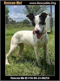 bluetick coonhound cost mississippi bluetick coonhound rescue u2015 adoptions u2015 rescueme org