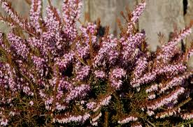 When Is Lavender In Season In Michigan by The 11 Best Flowering Shrubs For Early Spring