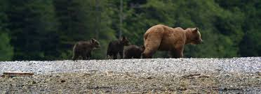 grizzly bear tours u0026 wildlife tours u0026 knight inlet adventures
