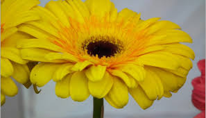 yellow daisy wallpapers daisies are also a classic symbol of beauty wallpaper tadka