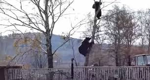 russian chases up tree