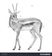wild animals in pencil sketch pencil sketches of animals model 12