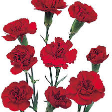 wholesale carnations mini carnations burgundy wholesale carnations