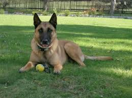 belgian shepherd stomach cancer belgian sheepherd dog gallery pictures images belgian