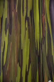 Rainbow Eucalyptus Bark Of The Rainbow Eucalyptus Eucalyptus Deglupta Hawaii