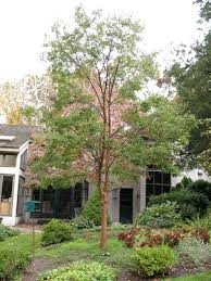 Tree For Home Decoration Outdoor U0026 Garden Cute Paperbark Maple Tree For Home Landscaping Ideas