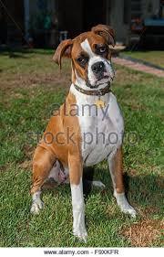 boxer dog white brown boxer dog boxer puppy stock photos u0026 brown boxer dog boxer
