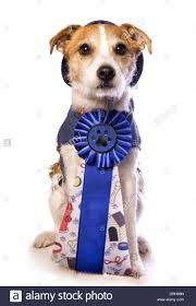 dog ribbon terrier dog wearing blue ribbon isolated on white