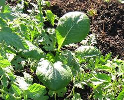 fall vegetables for san diego u2039 green garden dreams