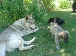 belgian sheepdog wolf mix wolf hybrid natural history