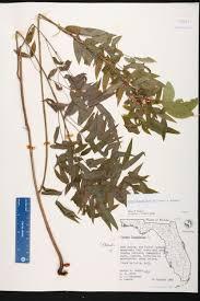 native florida air plants senna ligustrina species page isb atlas of florida plants