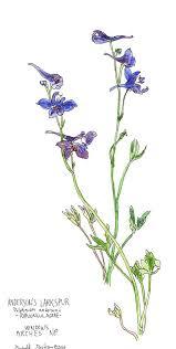 25 unique larkspur flower tattoos ideas on pinterest larkspur