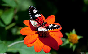 butterfly flower beautiful butterfly on a flower wallpaper 10748 open walls