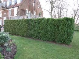 western red cedar hedging instant hedging u0026 hedges western red