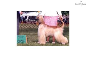 afghan hound puppies ohio puppies for sale from shamar u0027s afghan hounds member since