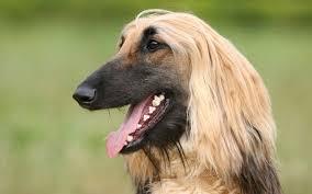 afghan hound lifespan afghan hound my doggy rocks