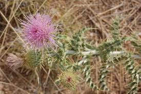 plants native to new mexico cirsium neomexicanum wikipedia