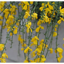 gold flowers proven winners golden hair scotch broom cytisus live
