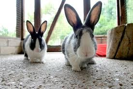 rabbit rabbit advice on rabbit vaccinations health rspca