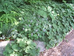 non native plants in florida groundcovers for moist shade new england habitat gardening blog