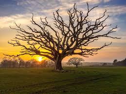 oak tree dead oak tree in tal y bont bangor sian monument flickr