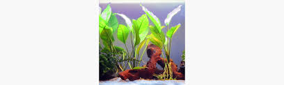 native aquarium plants plants bettaboxx