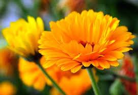 Calendula Flowers How To Grow Calendula Planet Natural