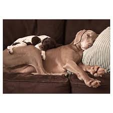 1009 best a weim images on dogs weimaraner and