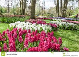 spring flowers in dutch garden keukenhof editorial stock image