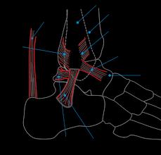 Ankle Anatomy Ligaments Ankle Anatomy Ligaments Ankle Wikipedia The Free Encyclopedia