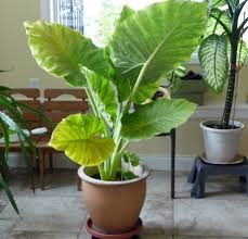 download elephant ear plant sun or shade solidaria garden