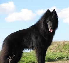 cost of a belgian sheepdog niavana belgian shepherds niavana belgian shepherds