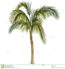 palm tree royalty free stock images image 2556219