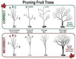 time to prune fruit trees but wait until the stops napa