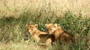 imagenes de leones salvajes gratis fotos gratis fauna silvestre pradera animales leones