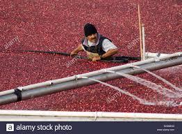 cranberry bog stock photos u0026 cranberry bog stock images alamy
