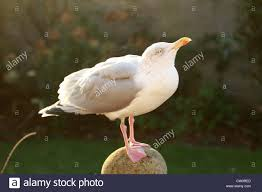 a seagull comes to rest on a garden ornament stock photo royalty