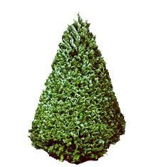douglas fir christmas tree christmas trees hawaii habilitat s christmas trees