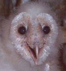 Barn Owl Sounds Living With Barn Owls