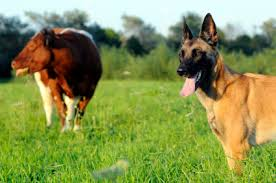 belgian shepherd dog temperament belgian malinois dog breed information on belgian malinois dogs