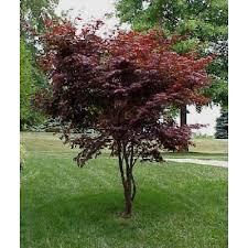 japanese maple tree seeds acer palmatum
