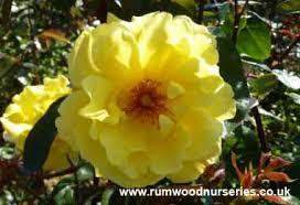 Climbing Plants For North Facing Walls - british roses roses for difficult areas north facing walls