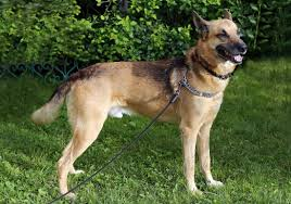 dog on leash not chain in backyard dogs pinterest dog