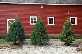 scotch pine christmas tree real indiana christmas trees fraser fir white pine scotch pine