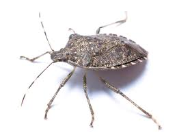 Bed Bugs Smell Stink Bug Information Identify Exterminate Stink Bugs